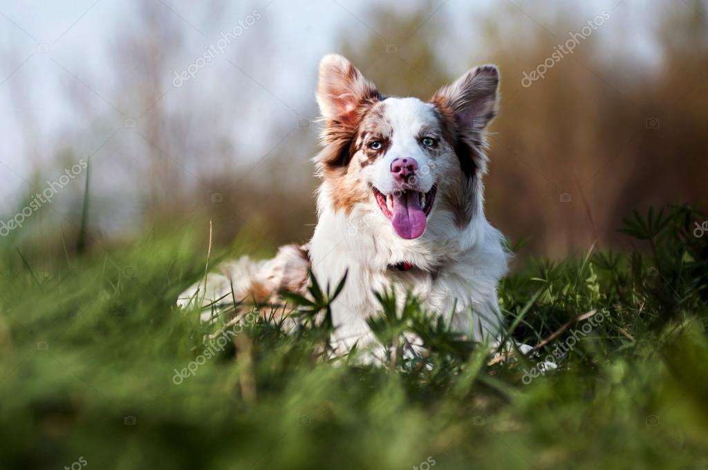 Happy merle border collie in summer