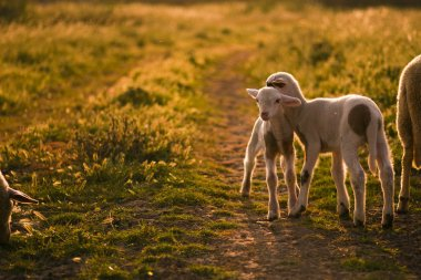 Lambs in meadow