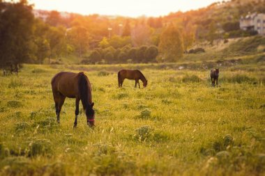 Three Horses are in meadow