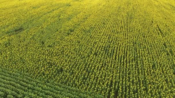 Velké slunečnicová pole
