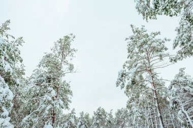 New Year tree in winter forest. Beautiful winter landscape with snow covered trees. Trees covered with hoarfrost and snow. Beautiful winter landscape in the forest.