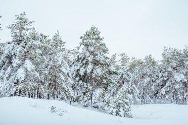 Yeni yıl ağacı kış orman içinde. Ağaçlar güzel kış manzarası kar ile kaplı. Ağaçlar hoarfrost ve kar ile kaplı. Güzel kış manzarası. Karla kaplı ağaç dalı. Kış arka plan
