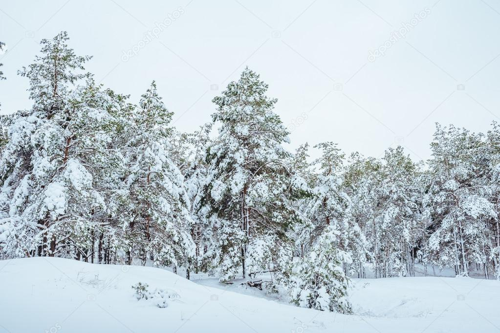 New Year tree in winter forest. Beautiful winter landscape with snow covered trees. Trees covered with hoarfrost and snow. Beautiful winter landscape. Snow-covered tree branch. Winter background
