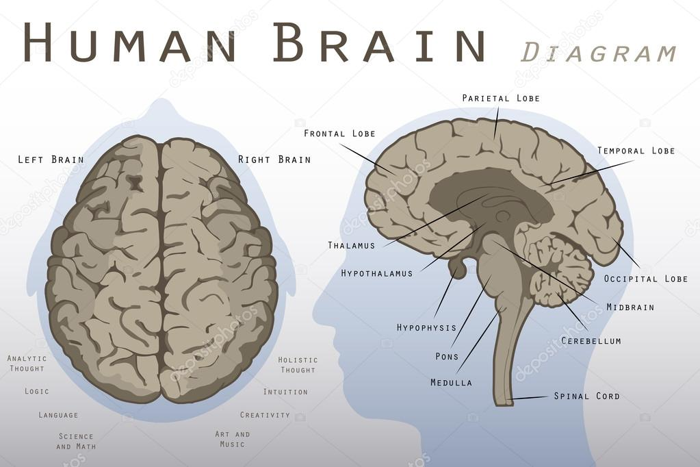Diagrama de cerebro humano — Vector de stock © pablofdezr1984 #75074193