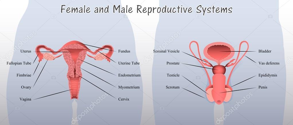 Weibliche und männliche Fortpflanzungssystem Diagramm — Stockvektor ...