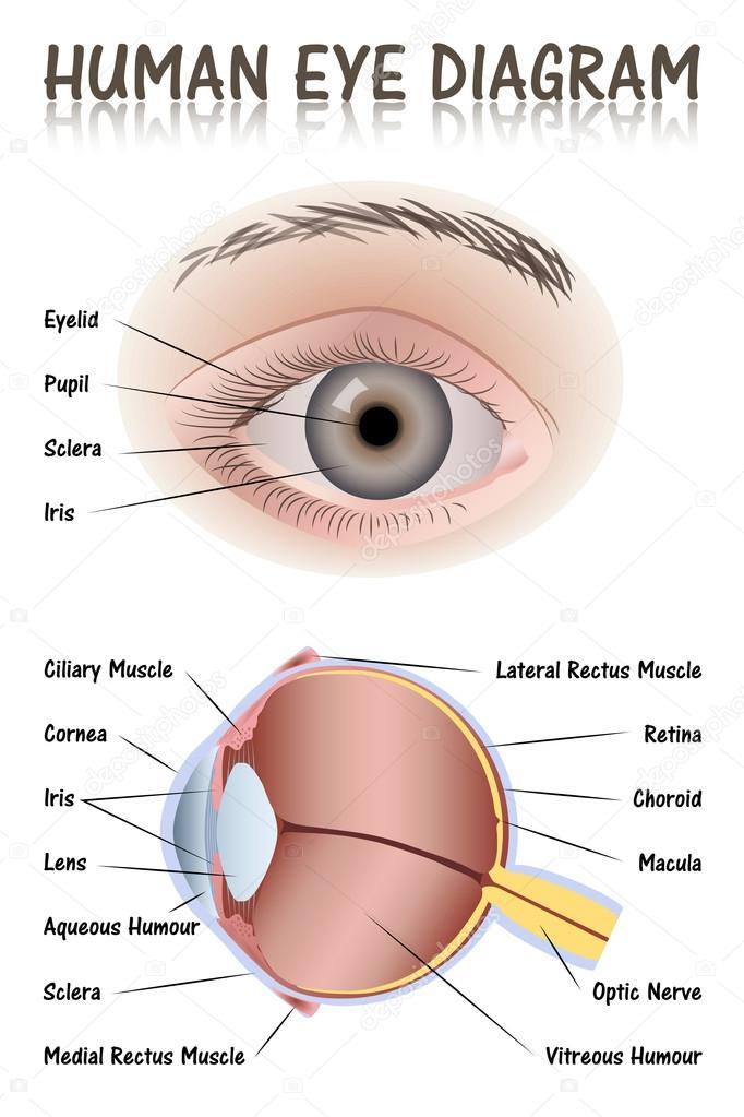 Human Eye Diagram  U2014 Stock Vector  U00a9 Pablofdezr1984  77062785