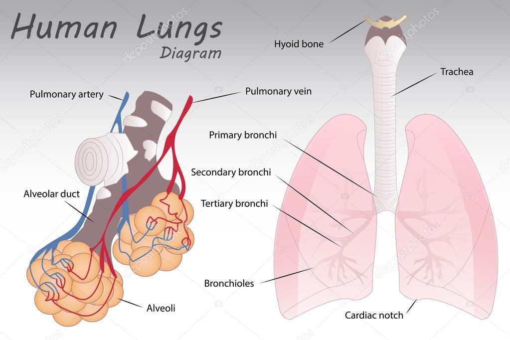 Diagrama de los pulmones — Archivo Imágenes Vectoriales ...