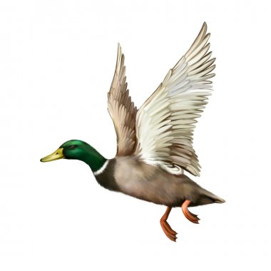 Male Mallard Duck Flying