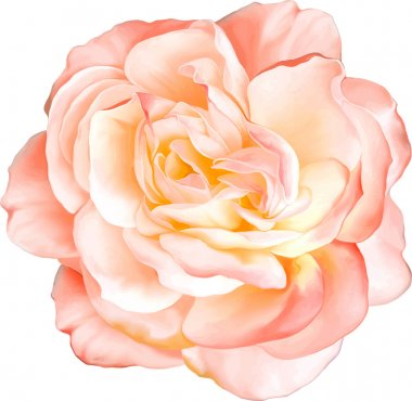 Beautiful light orange red Rose Flower isolated on white background. Vector illustration