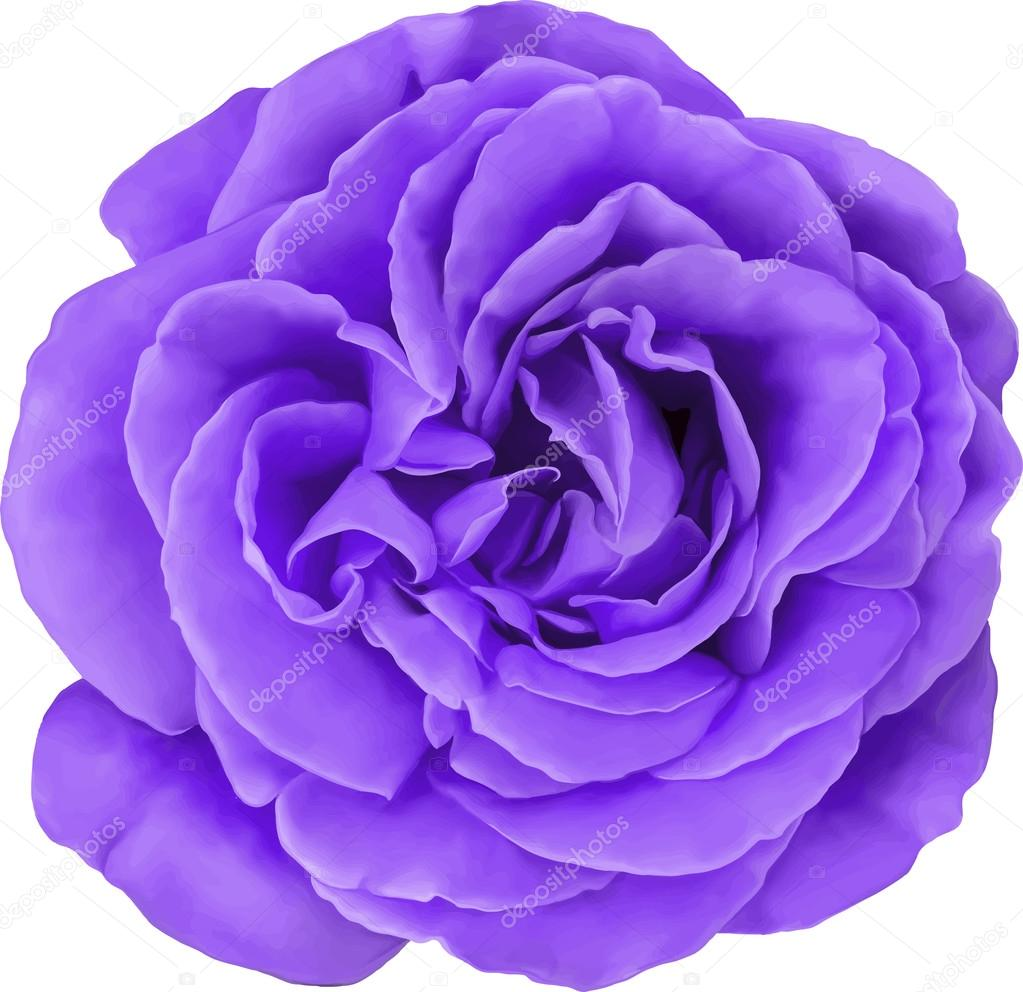 Purple Rose Flower Isolated On White Background Vector Illustration Stock