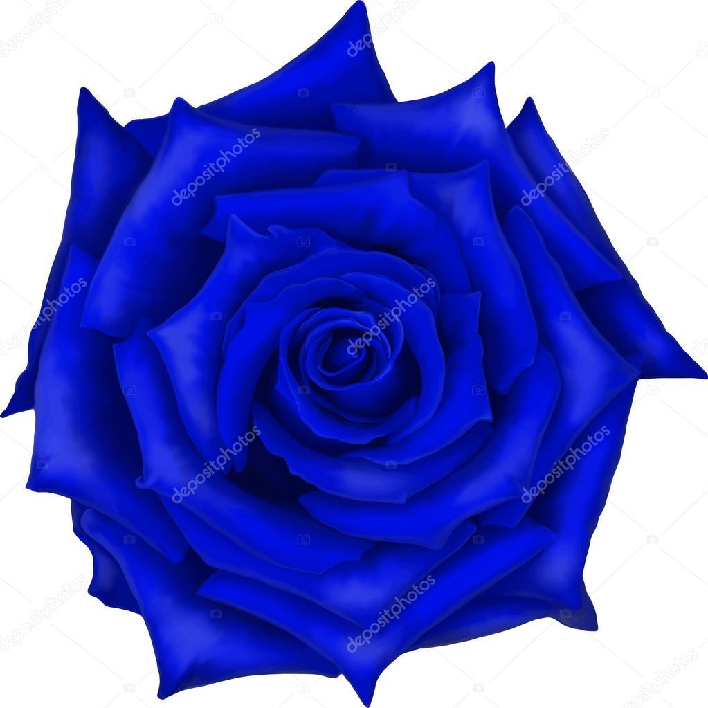 Blue Rose Flower Isolated On White Background Vector Illustration
