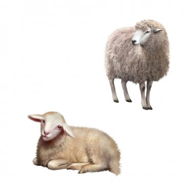 illustration of Front view of a Sheep looking away. Illustration isolated on white background