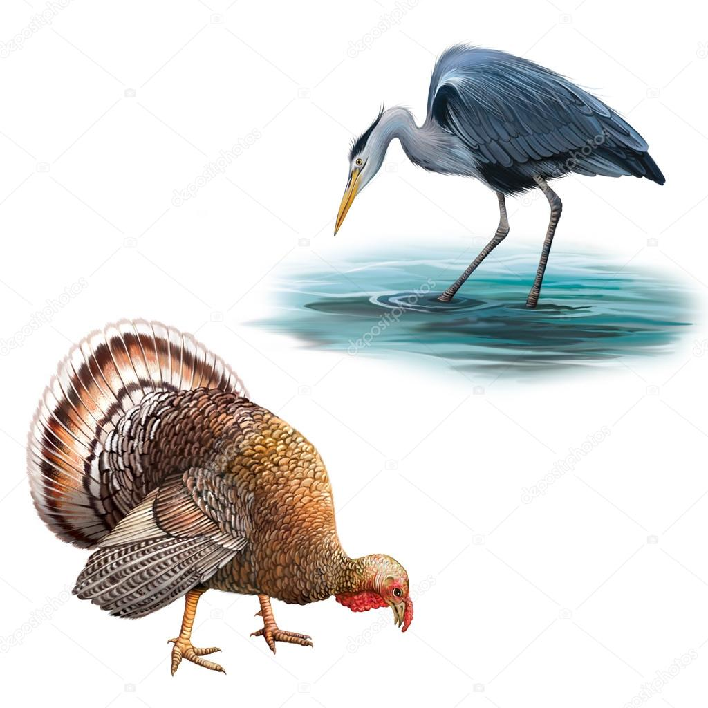 Grey Heron standing in the water hunting with head bent down, Ardea Cinerea, Big beautiful male turkey illustration isolataed on white background