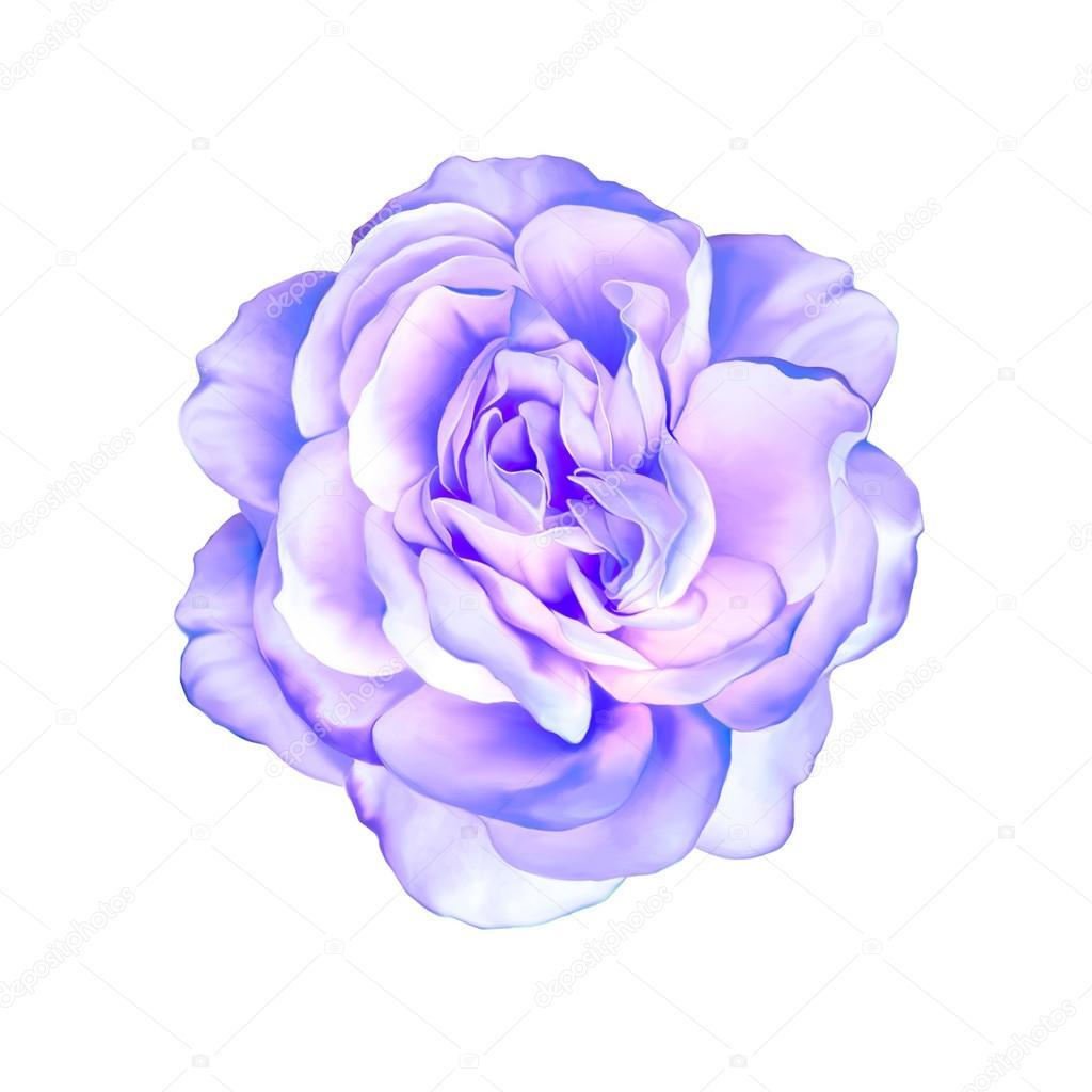 Blue Purple Rose Flower Isolated On White Background Photo By Artnature