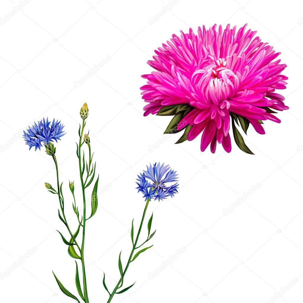 アスター。ピンクの花、春の花。白い背景のヤグルマギクの花。ブルーの