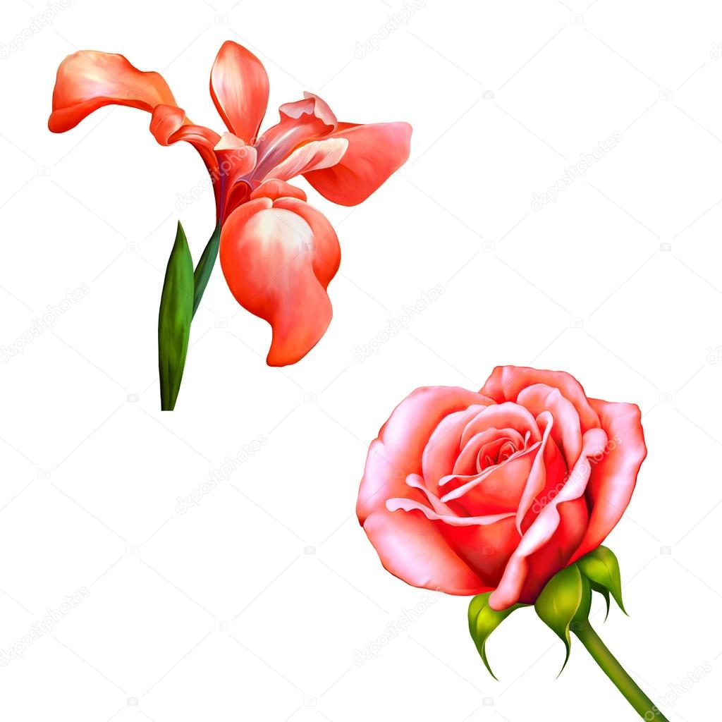 Red Iris Flower Isolated On White Background Illustration Of A