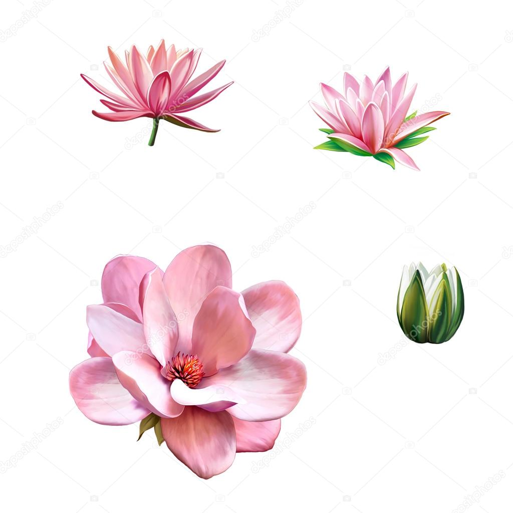 Pink magnolia flower, Pink flower, Spring flower. Lotus flower, water lily flower Isolated on white background
