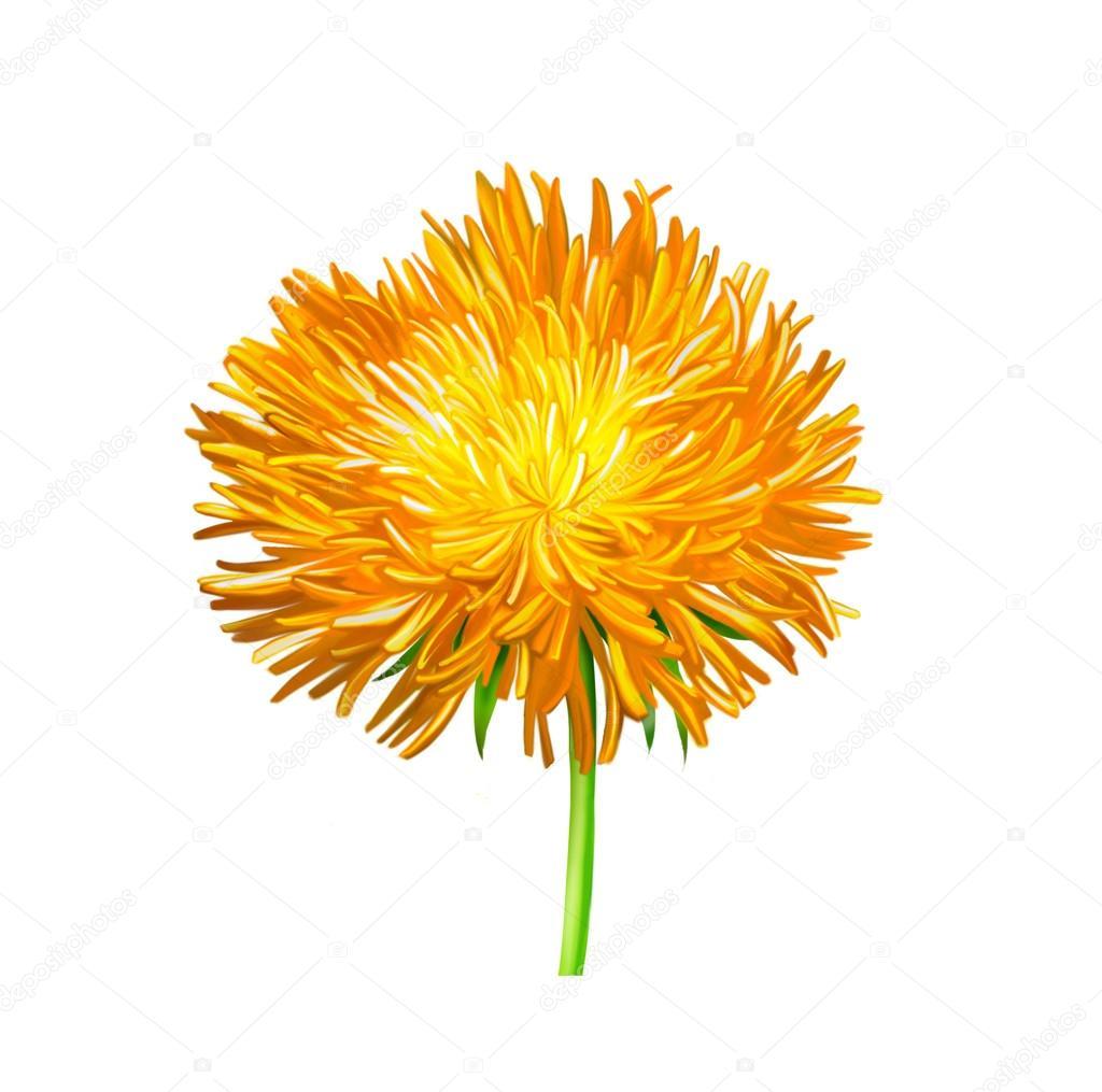 Yellow Thistle Flower Aster Flower Illustration Isolated On White