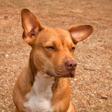 Red pit bull dog