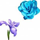 Fotografia blu iris viola e rosa blu
