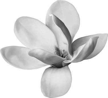 Black Magnolia flower
