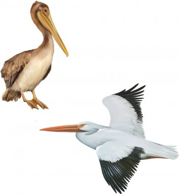 White and brown  Pelican