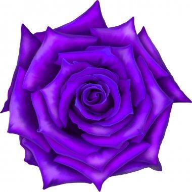 Big purple rose flower