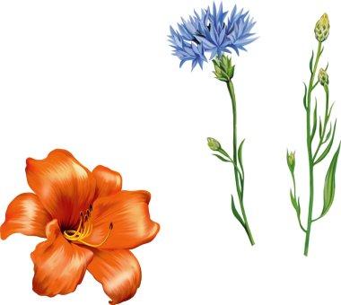 Orange  lily and cornflower