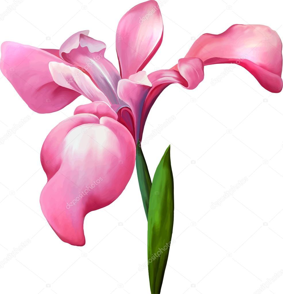Pink Iris Flower Stock Vector Artnature 69816833