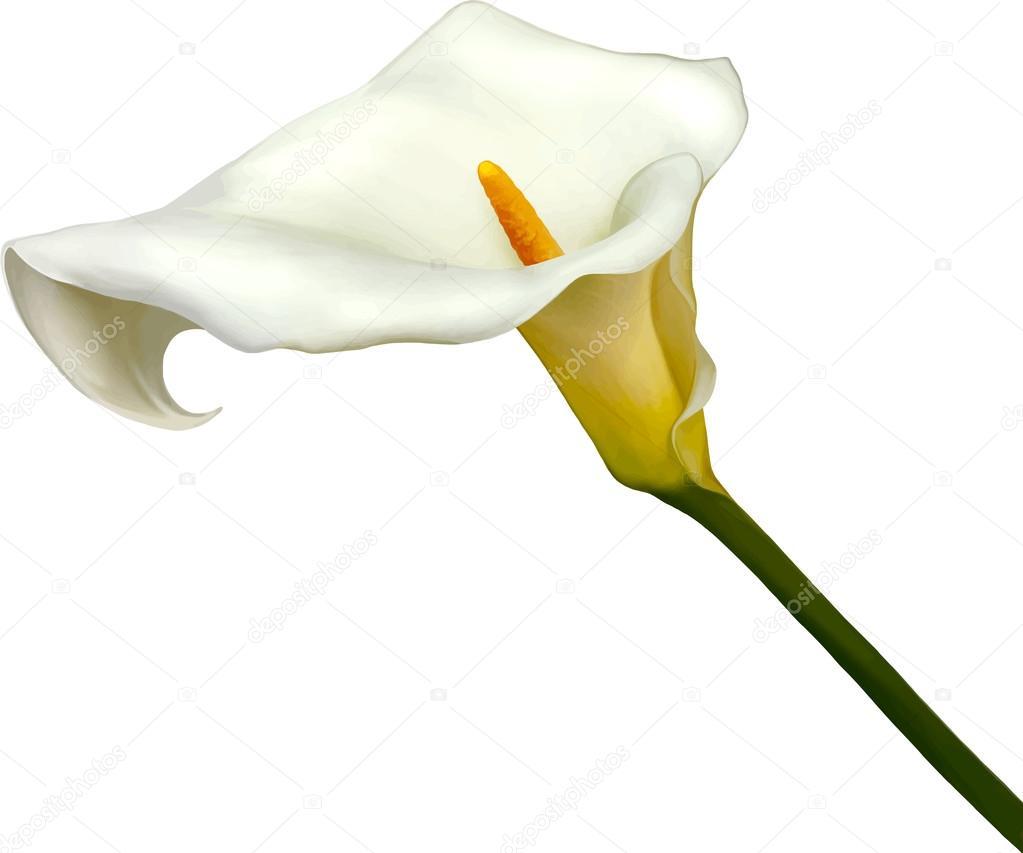White calla lily flower stock vector artnature 69816895 white calla lily flower stock vector izmirmasajfo