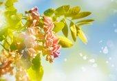 Fényképek gyönyörű rózsaszín virágok akác