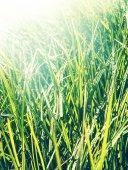 Fotografie Čerstvá tráva brzy ráno