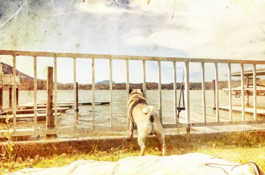 Pug dog looking through the fence
