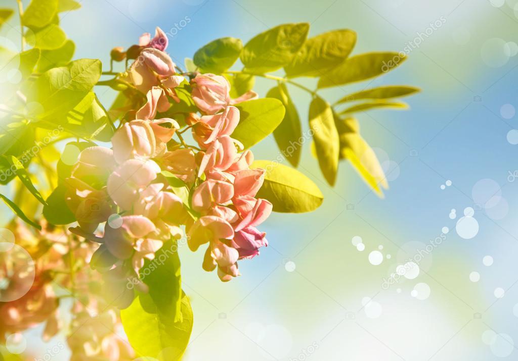 beautiful pink flowers acacia