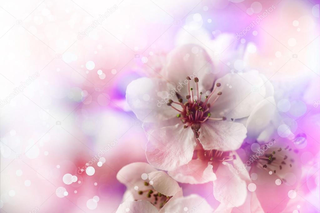 cherry  tree branch in bloom.