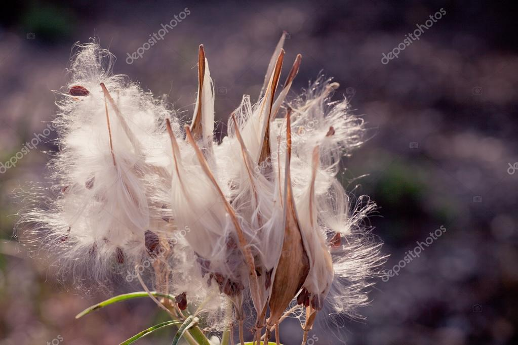 Dried thistle flowers