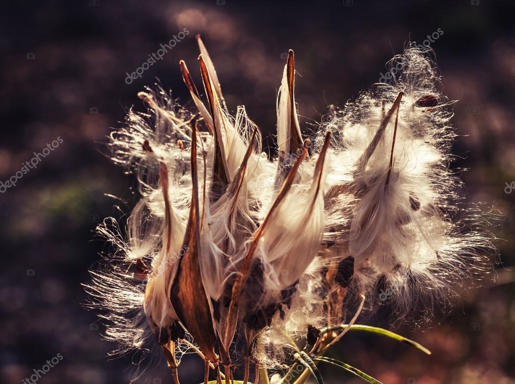 Fleurs Du Chardon Sechees Photographie Artnature C 80986948