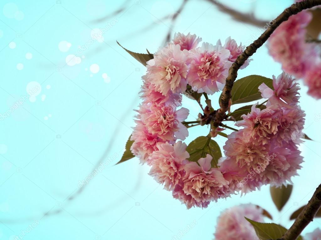 Sakura tree branch in bloom.