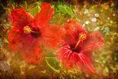 Květiny ibišek červený