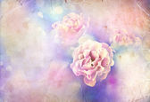 Fotografia belle rose rosa