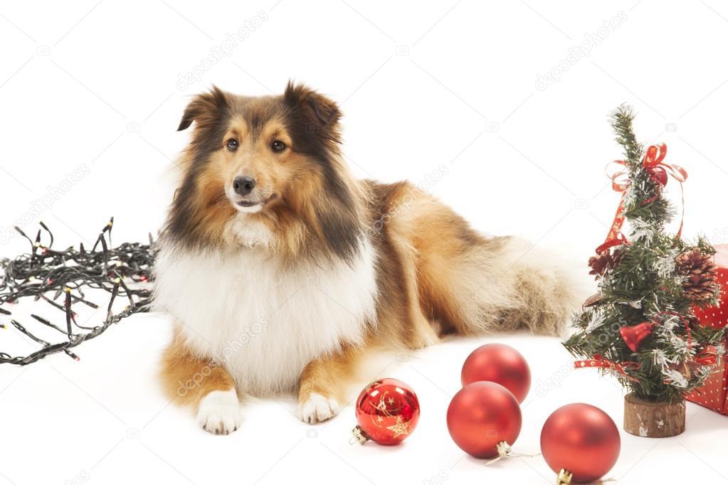 Hund Mit Christbaumschmuck Stockfoto C Aarstudio 55966611