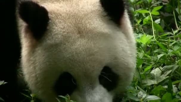 Panda bear walking by