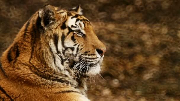 Tygr odpočívá po večeři