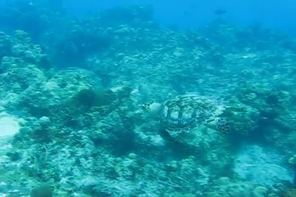Turtle in the Caribbean sea