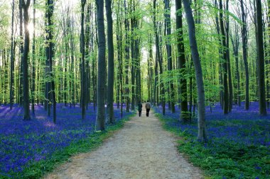 People walking in beautiful spring forest with carpet of bluebells or wild hyacinths on a sunny day, Belgium, Halle stock vector