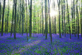 Fotografie Beautiful bluebells forest