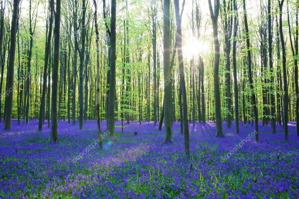 Beautiful bluebells forest
