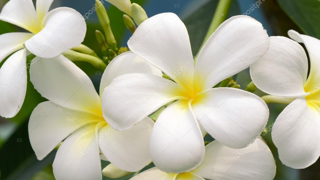 White and yellow Plumeria spp. (frangipani flowers, Frangipani, Pagoda tree or Temple tree) on natural backgroun