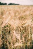 Fotografia paesaggio del campo di grano, fattoria, cielo