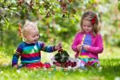 Děti sbíráme cherry na ovocnářské farmě